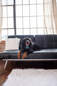 photo of gordon setter in studio on couch
