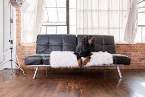Gordon setter on couch