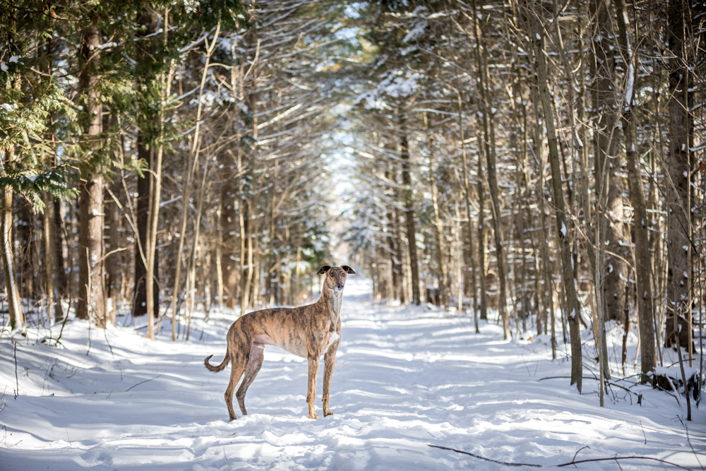 Lurcher dog stands in the middle of a snow path in a forest in the winter.