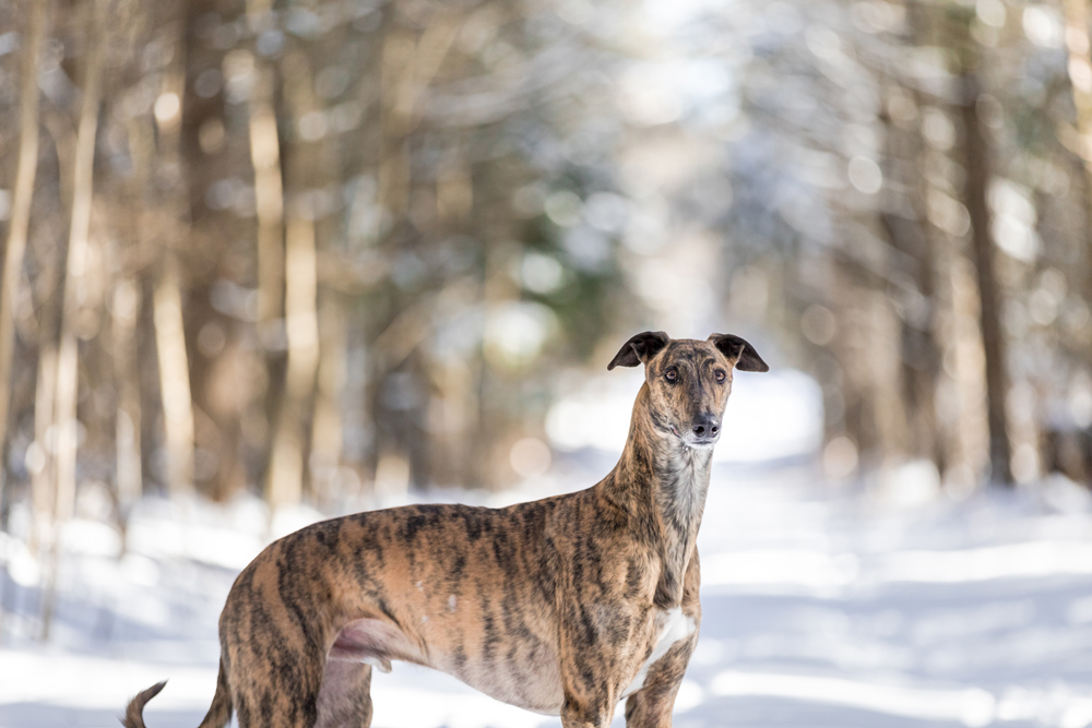 Lurcher dog poses on a path in the winter