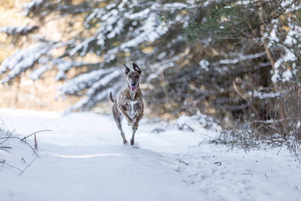 Lurcher dog running at full speed in the snow