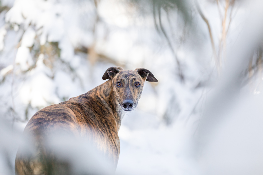 Lurcher dog photo during the winter