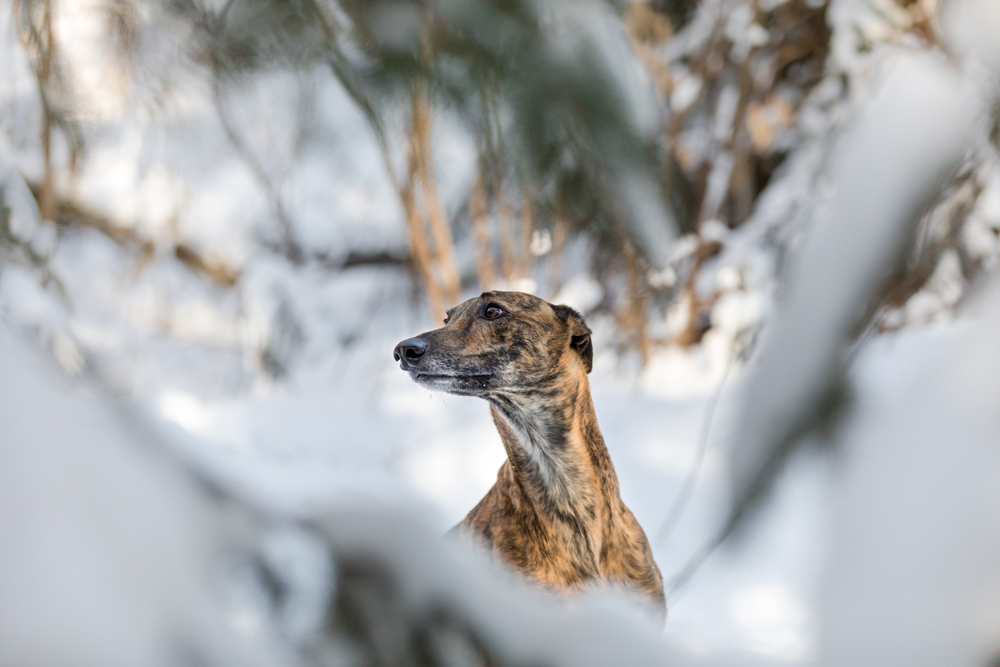 Lurcher dog photo through the evergreen branches.
