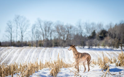 A winter dog portrait session with a Lurcher